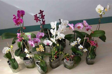 水培蝴蝶兰-固定植株