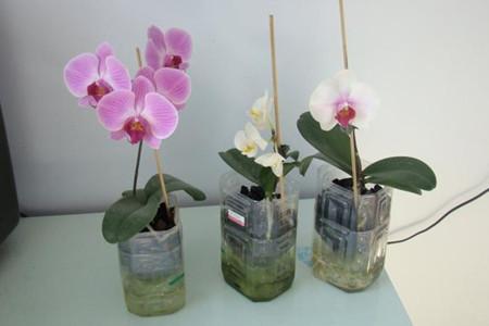 水培蝴蝶兰-养护