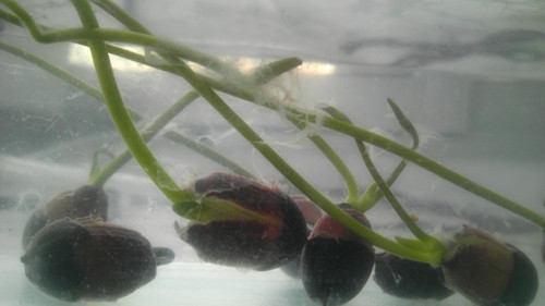 碗莲种子长毛