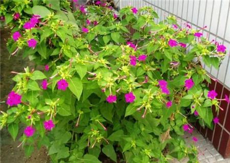 紫茉莉开花