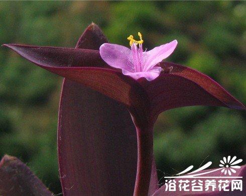 紫鸭跖草、紫叶鸭跖草、紫竹梅