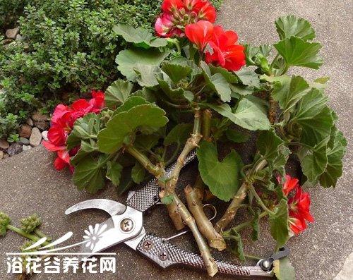 天竺葵的修剪整形方法