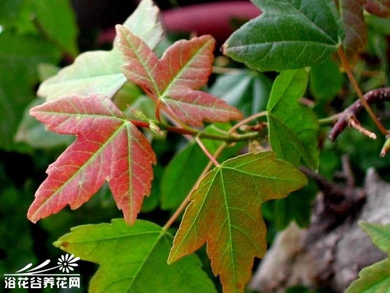 三角枫的繁殖方法