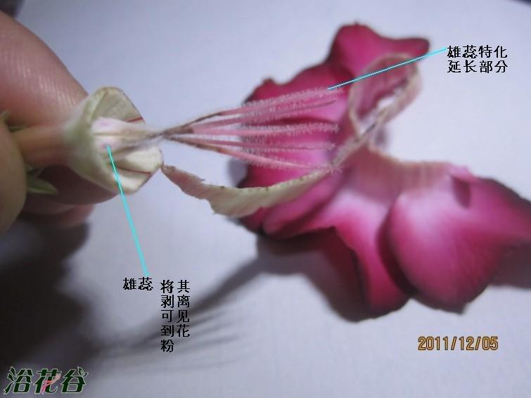沙漠玫瑰授粉方法(图)