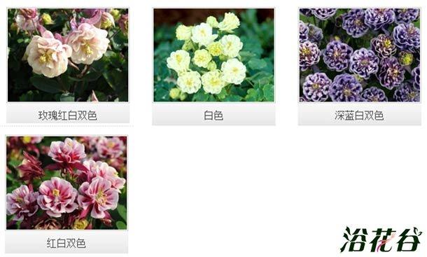 大花耧斗菜品种介绍(图)