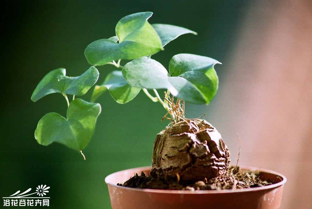 南非龟甲龙(Dioscorea elephantipes)的种植要点