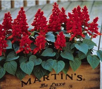 怎样让一串红在一年中多次开花
