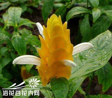 金苞花栽培中应注意哪些环节