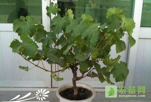 盆栽葡萄落果原因