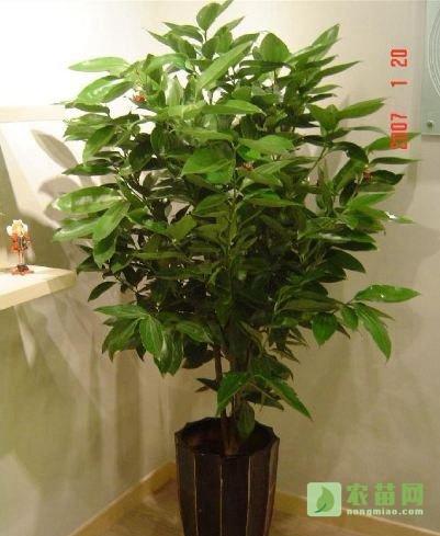 平安树的作用