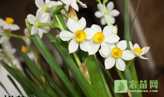 水仙花开花后怎么养