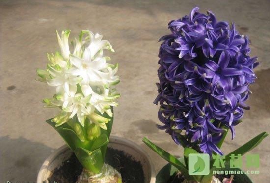 风信子什么时候种植,什么时候开花