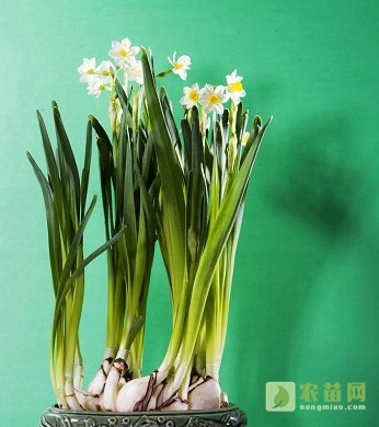 水仙花水养及上盆